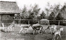 Boeremapark hertenkamp omstreeks 1954