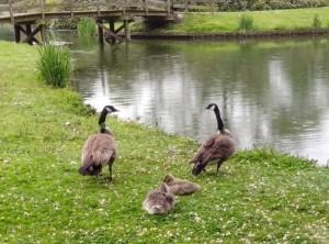Canadese ganzen met jongen